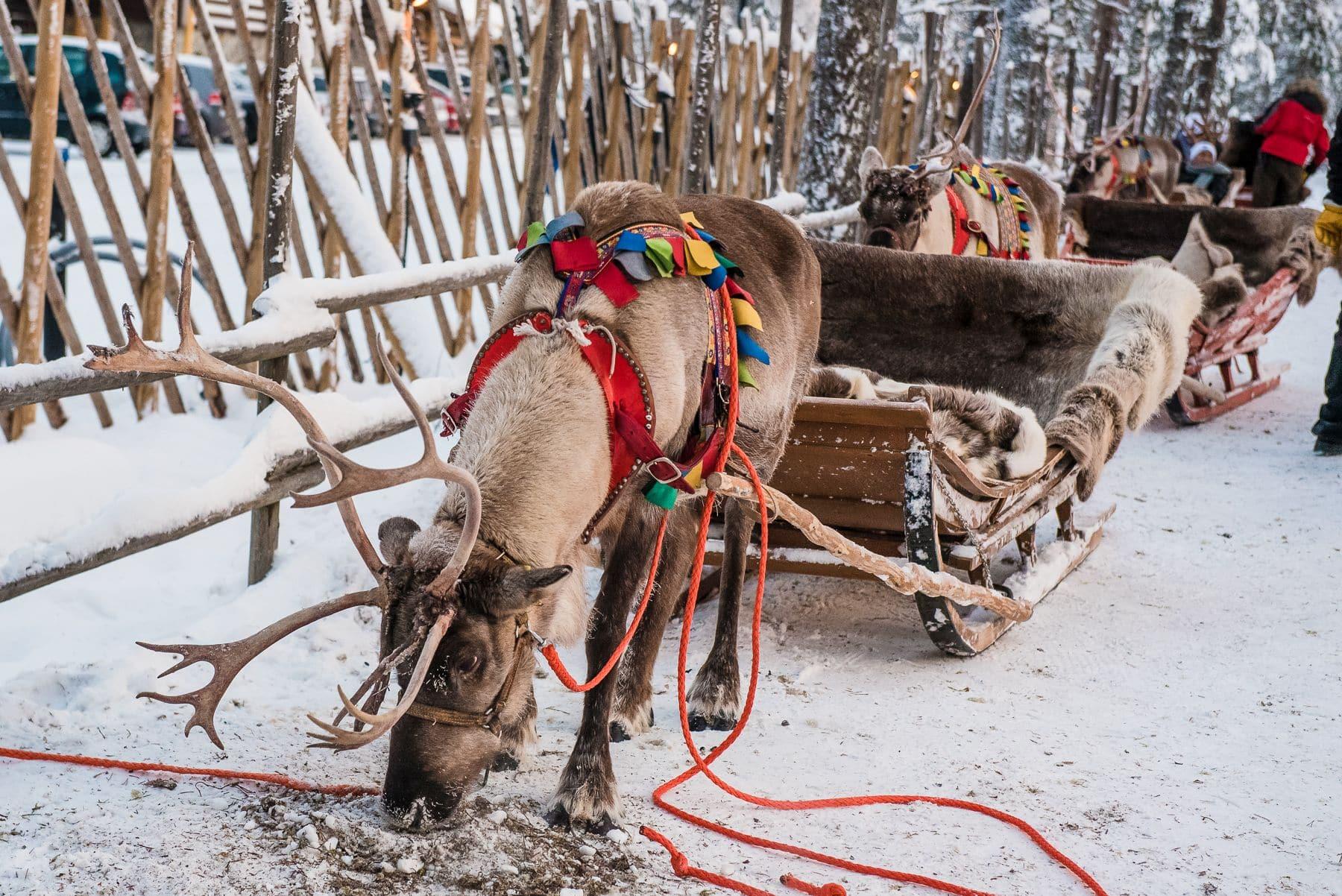Laponia Psi zaprzeg wioska swietego mikolaja wyjazd do laponii rovaniemi_001878