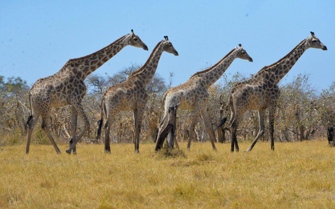Self-drive safari w Afryce czyli wyprawa 4×4 – parki narodowe Botswany: Chobe i Moremi oraz Makgadikgadi Pan cz. 4